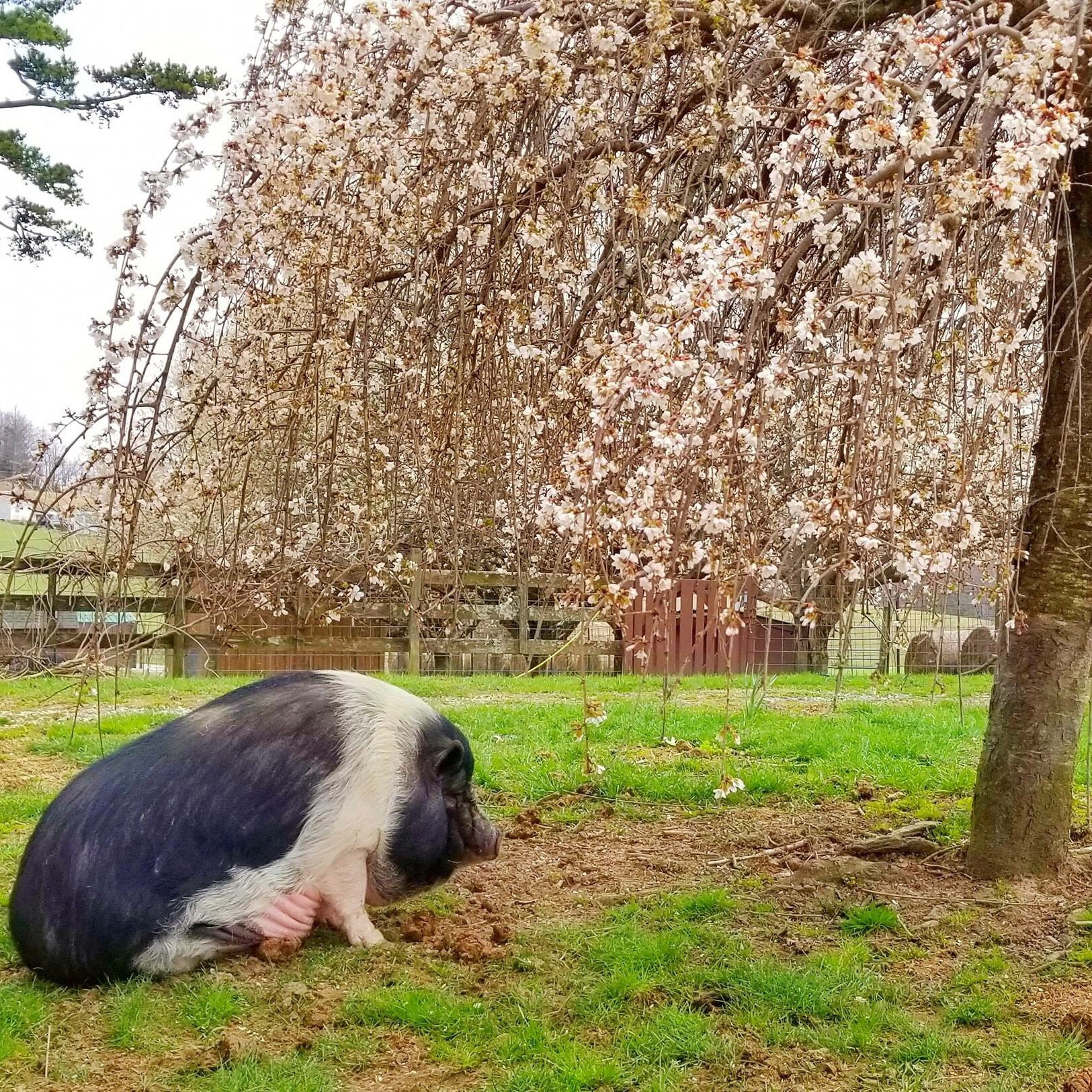 The Pig Preserve